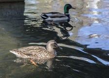 Mallard Duck Couple Fotografia Stock Libera da Diritti