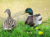 Mallard duck. Couple of Mallard ducks  by clear water Royalty Free Stock Photos