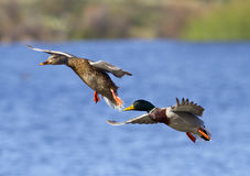 Mallard Duck Couple Landing. On a lake. Focus on Male Face Royalty Free Stock Photos
