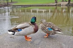 A mallard duck couple. With a male and female Stock Photography