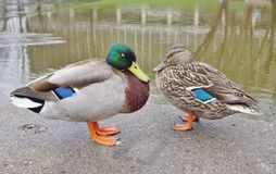 A mallard duck couple. With a male and female Stock Photos