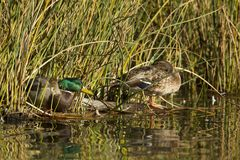 Mallard couple nested by grassy shore. A mallard duck couple are nestled by the grass at Cannon Hill Park in Spokane, Washington Royalty Free Stock Images