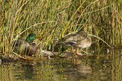 Mallard male and female. A mallard duck couple are nestled by the grass at Cannon Hill Park in Spokane, Washington Stock Images