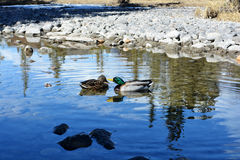 Mallard duck couple playing in a stream Stock Photo