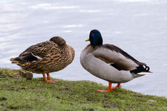 Mallard Duck couple. Wild Mallard Duck (Anas platyrhynchos) couple, resting together on the edge of water Stock Photos