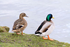 Mallard Duck couple. Wild Mallard Duck (Anas platyrhynchos) couple, resting together on the edge of water Royalty Free Stock Images