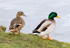 Mallard Duck couple. Wild Mallard Duck (Anas platyrhynchos) couple, resting together on the edge of water Royalty Free Stock Image
