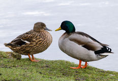 Mallard Duck couple. Wild Mallard Duck (Anas platyrhynchos) couple, resting together on the edge of water Stock Photography