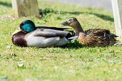 Mallard Duck couple. Wild Mallard Duck (Anas platyrhynchos) couple, resting together on the edge of water Stock Image