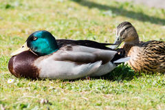 Mallard Duck couple. Wild Mallard Duck (Anas platyrhynchos) couple, resting together on the edge of water Royalty Free Stock Photography