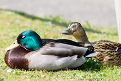 Mallard Duck couple. Wild Mallard Duck (Anas platyrhynchos) couple, resting together on the edge of water Stock Photo
