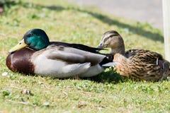 Mallard Duck couple Royalty Free Stock Photo