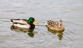 Mallard Duck couple. Wild Mallard Duck (Anas platyrhynchos) couple, swimming together on the water Royalty Free Stock Photography
