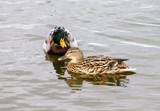 Mallard Duck couple. Wild Mallard Duck (Anas platyrhynchos) couple, swimming together on the water Stock Images