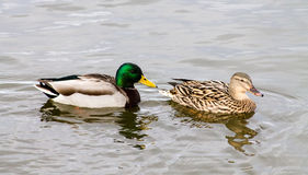 Mallard Duck couple. Wild Mallard Duck (Anas platyrhynchos) couple, swimming together on the water Royalty Free Stock Photo