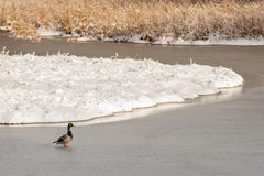Mallard Duck Crossing Frozen Wetland Stock Photos