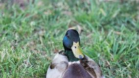 Mallard Duck. Detail of a mallard duck Stock Photography
