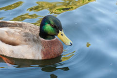 Mallard duck with distinctive markings. Swimming on calm blue water Royalty Free Stock Photos