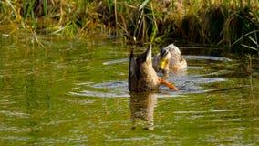 Mallard duck diving stock video footage