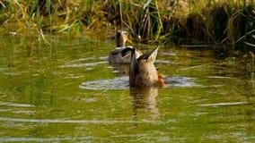 Mallard duck diving stock footage