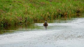 Mallard duck diving. For food in pond stock video footage
