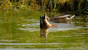 Mallard duck diving. For food in pond stock footage