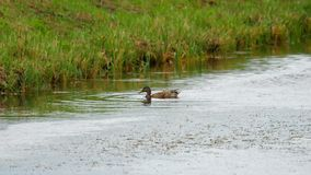 Mallard duck diving. For food in pond stock video