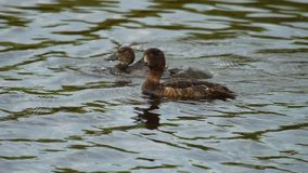 Mallard duck with duckling. Mallard Duck diving for food in pond