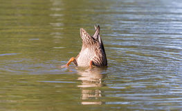 Mallard duck diving. In the lake water Royalty Free Stock Photo