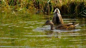 Mallard duck diving stock video