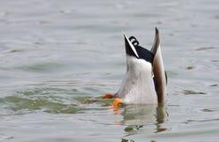 Mallard Duck Diving pour la nourriture photos libres de droits