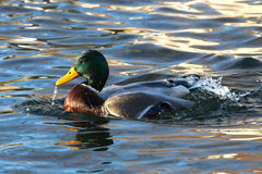 Free Mallard Duck Drake Stock Image - 18013121