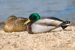 Mallard duck and drake. Pair Mallard ducks (Anas platyrhynchos Royalty Free Stock Photo