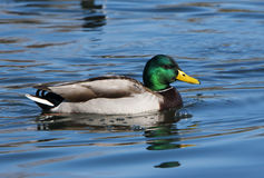 Mallard Duck Drake Royalty Free Stock Photography