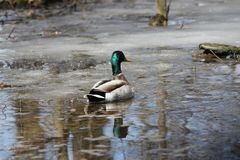 Mallard Duck Drake Anas platyrhynchos. Mallard Drake floating in a thawed portion of water puddle in early spring Royalty Free Stock Photo