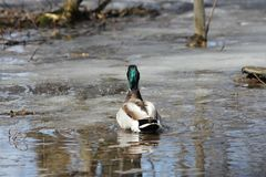 Mallard Duck Drake Anas platyrhynchos. Mallard Drake floating in a thawed portion of water puddle in early spring Stock Images