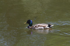 Mallard duck. Drake (Anas platyrhynchos) swimming in a green lake Royalty Free Stock Photo