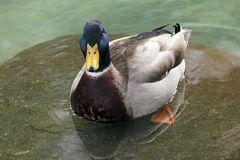 Mallard Duck Drake. A drake Mallard duck swimming close up Stock Photos