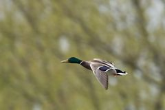 Mallard duck drake in flight. Beautiful stained drake in flight. The background consists of trees on the bank of the lake Royalty Free Stock Image