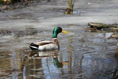 Mallard Duck (Drake & Hen). Mallard (drake) swimming in s freshly thawing little pond Royalty Free Stock Images