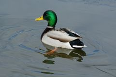 Mallard duck drake in icy water. Mallard duck drake swimming in icy water in winter lake Royalty Free Stock Photos
