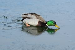 Mallard duck drake in icy water. Mallard duck drake swimming in icy water in winter lake Royalty Free Stock Images