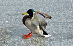 Mallard Duck Drake. Landing on frozen lake with light snow on top Royalty Free Stock Photos