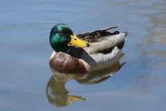 Mallard Duck drake Royalty Free Stock Image