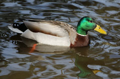 Mallard Duck Drake. The mallard drake is the most recognizable of all ducks Stock Photos