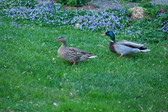 Mallard Duck and Drake. A pair of mallard (duck and drake) take a stroll in a garden in Boise, Idaho Stock Photos