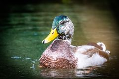 Mallard Duck drake in a pond royalty free stock photo