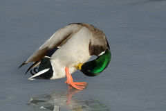 Mallard Duck Drake Preening Royalty Free Stock Photo