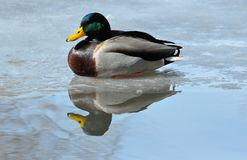 Mallard Duck Drake Stock Images