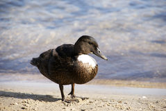 Mallard Duck Drake. Standing near the water edge Stock Photo